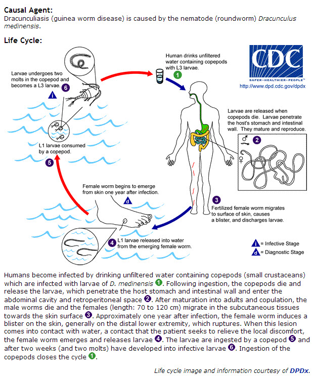 Life cycle dracunculiasis guinea worm disease life cycle of the parasite diagram from cdc 2014 ccuart Choice Image